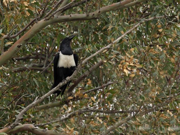 Cuervo pío
